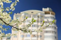 White pear blossoms on branch with apartment house and  blue sky Stock Images