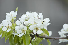 White pear blossoms. Branch of blooming pear tree Stock Image
