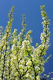White pear blossoms on branch with blue sky Royalty Free Stock Photography