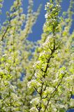 White pear blossoms on branch with blue sky Royalty Free Stock Images