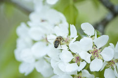 White pear blossoms with a bug. Close-up of blooming pear tree. Bee picking nectar Stock Image