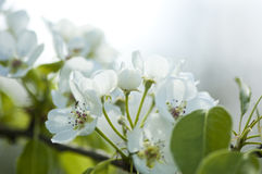 White pear blossoms. Close-up Royalty Free Stock Photos