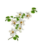 White pear flowers branch Royalty Free Stock Photo
