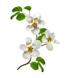 White pear flowers branch Stock Photos
