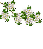 White pear flowers branch Stock Photo