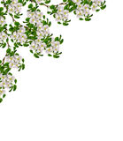 White pear flowers branch Stock Photography