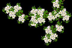 White pear flowers branch Stock Images