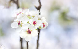 White  pear flowers spring beautiful pastel background Stock Images