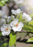 White pear tree flower. Royalty Free Stock Photo