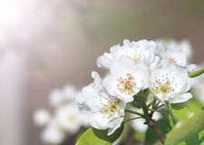 White pear tree flower. Royalty Free Stock Image