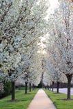 Flowering Pear Trees. Bradford ornamental white Flowering Pear Trees in spring royalty free stock image