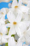White pearl hyacinth Royalty Free Stock Photography
