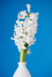 White pearl hyacinth Stock Photography
