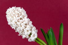 white pearl hyacinth in the vase Stock Photography