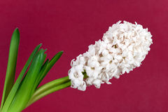 White pearl hyacinth in the vase Stock Photos