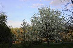 White pears bloom. Golden hour in the spring evening in the city Park royalty free stock photography