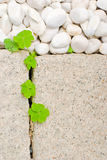 White pebble and newborn creeping oxalis leaf Stock Photos