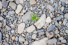 Free White Pebbles Of Rock On The Beach, A Single Green Plant Broke Through The Rocks. Symbol Of Perseverance And Vitality. Stock Photo - 160171170