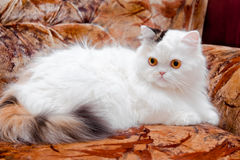 White pedigreed cat on sofa Stock Image