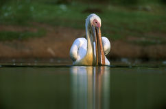 White Peilican. White Pelican in water with its beak open Royalty Free Stock Photos