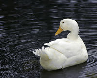 Free White Pekin Duck Royalty Free Stock Images - 183399