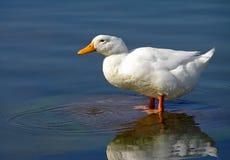 White Pekin Duck. Cute white Pekin Duck standing in water Royalty Free Stock Images