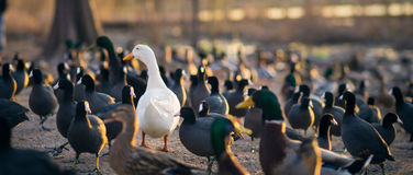 White Pekin Duck in a crowd of Mallards Stock Photography