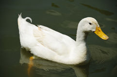 White Pekin Duck in a pond Stock Photos
