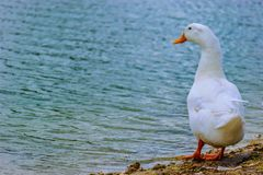 White Pekin Duck standing by the lake royalty free stock photo