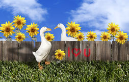 White Pekin Duck Valentine Couple Stock Photography