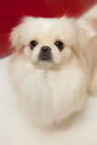 White pekinese dog Royalty Free Stock Photo