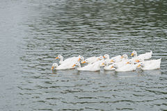 White peking duck swimming thailand. Stock Photography