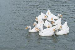 White peking duck swimming thailand. Stock Photos