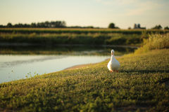 White Peking duck walking on farmers pond in the summer. Royalty Free Stock Photo
