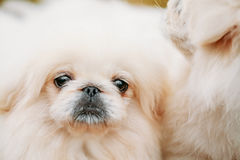 White Pekingese Pekinese Peke Whelp Puppy Dog Stock Photography