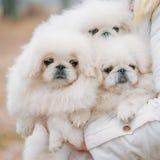 White Pekingese Pekinese Peke Whelp Puppy Dog Royalty Free Stock Image