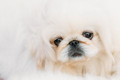 White Pekingese Pekinese Peke Whelp Puppy Dog Royalty Free Stock Photos
