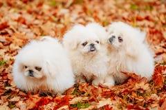 White Pekingese Pekinese Peke Whelp Puppy Dog Stock Images