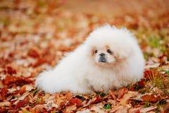 White Pekingese Pekinese Peke Whelp Puppy Dog Stock Photo