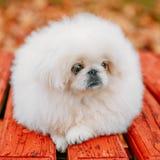 White Pekingese Pekinese Peke Whelp Puppy Dog Royalty Free Stock Images