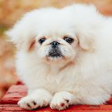White Pekingese Pekinese Peke Whelp Puppy Dog Stock Photography