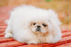 White Pekingese Pekinese Peke Whelp Puppy Dog Stock Image