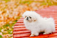 White Pekingese Pekinese Peke Whelp Puppy Dog Royalty Free Stock Photography