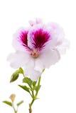 White Pelargonium Stock Photography