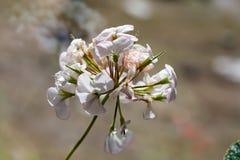 White pelargonium flowers close up royalty free stock photography