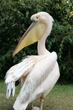 White Pelican. With a big beak from up close royalty free stock photos