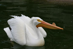 White Pelican Royalty Free Stock Images