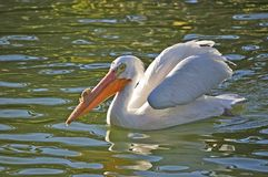 White Pelican. Swimming in water showing its large beak Stock Images