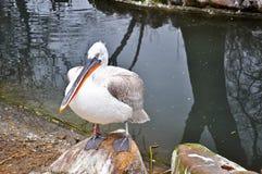 White Pelican Royalty Free Stock Photo