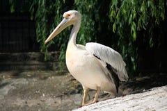 White pelican Royalty Free Stock Photos
